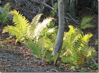 20090925 Killingan Coppice autumn ferns