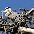 great blue heron fledglings