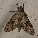 Florestan sphinx moth