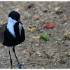 The Spur-winged Lapwing or Spur-winged Plover