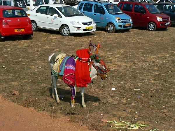 Imagini India Goa: o vaca colorata Anjuna