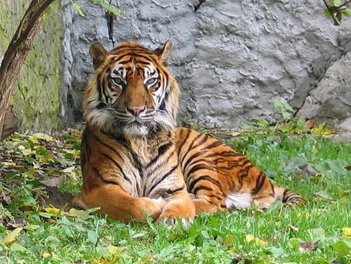 The top 8 largest domestic cat breeds | Pets4Homes  |Big Cat Species