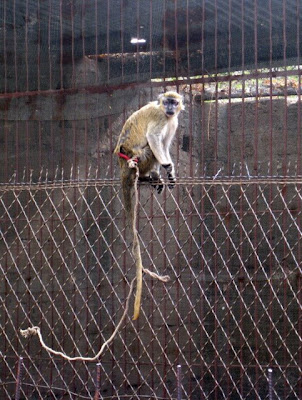 Monkey at the Bamako Zoo in Mali