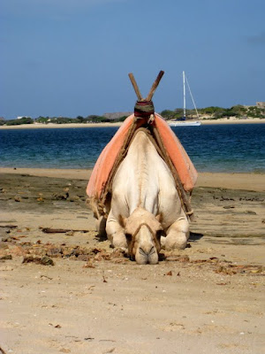 Camel on the beach in Lamu Kenya