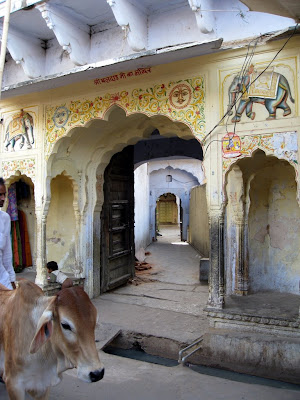 Cow in Pushkar India