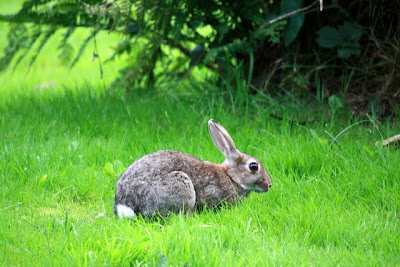 Rabbit in Grasmere England