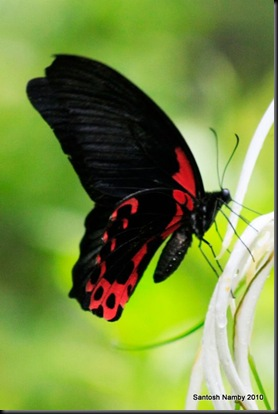 Scarlet Mormon - Female - 1