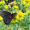 Black morph eastern tiger swallowtail