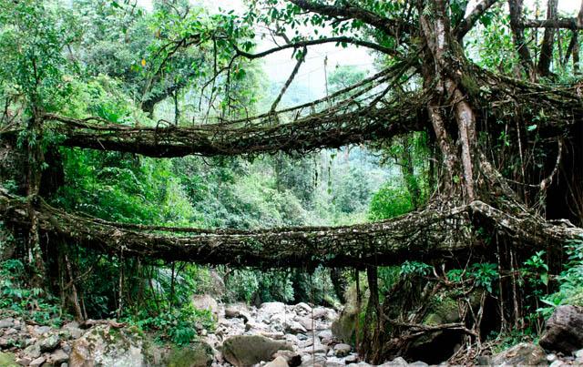 Puentes vegetales en la India