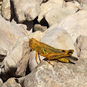 Differential Grasshopper
