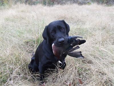 Man In Black Quot Cash Quot Black Labrador Retriever At Stud