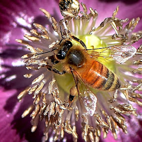 Poppy bee   by Scot Gallion - Animals Insects & Spiders (  )