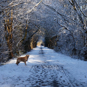 Snowy trail by Diane Dunn - Landscapes Weather ( snow; dogs; walks;trees )