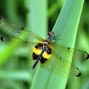 Yellow-striped Flutterer