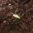 Katydid, female