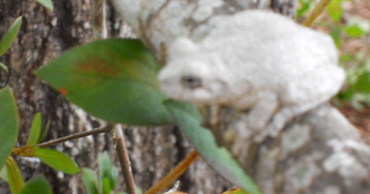 Squirrel Head Manor Tree Frog No Recipe