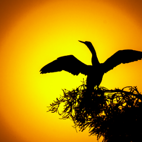 afternoon glory by David Ubach - Animals Birds ( bird, anhinga, sunset )