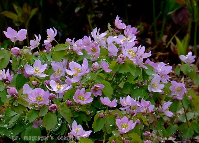 Wordless Wednesday: Anemonella thalictroides