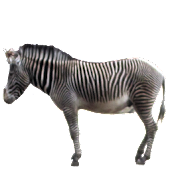 Zebra Sticker