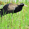 The bronze-winged jacana