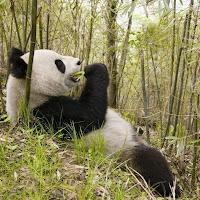 Pandas3.jpg