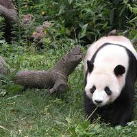 Panda 1.bmp