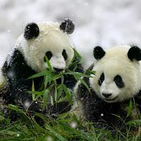 Pandas 2.bmp