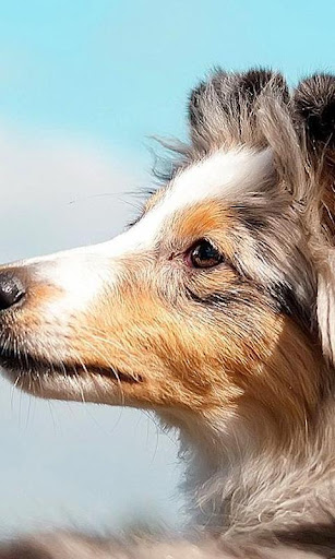 Collies Wallpapers