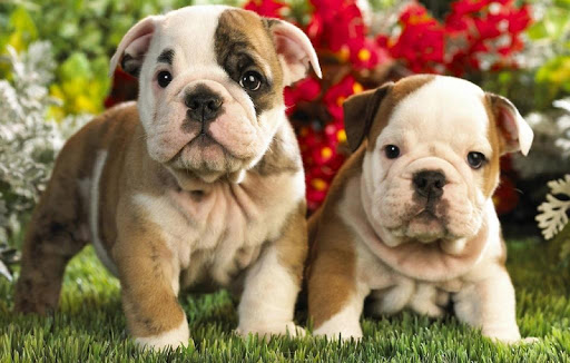 English Bulldog Wallpapers HD