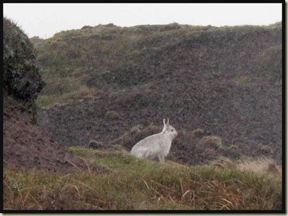 Mountain hare on Bleaklow - they were scampering around everywhere