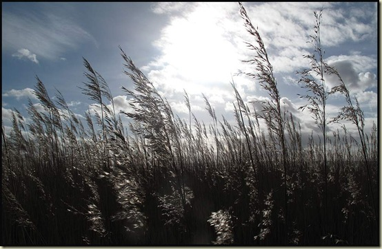 Estuary rushes