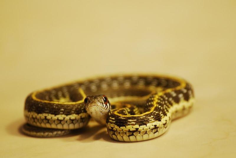different garter snakes for sale