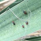Yucca plant bug