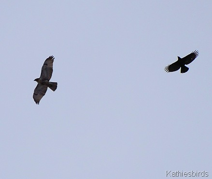 13. hawk n crow kathiesbirds