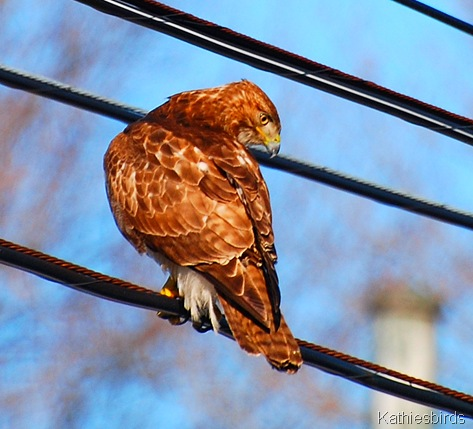 1. Red-tailed hawk