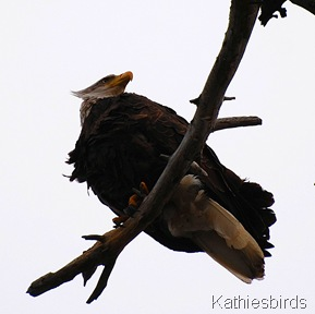 7. bald eagle-kab