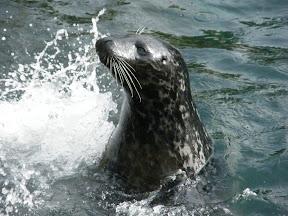 215 - Un león marino.JPG