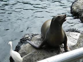 229 - Un león marino.JPG