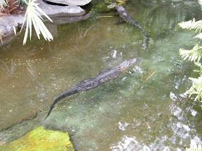 264 - Alligator.JPG