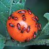 Lygaeid bug nymphs