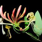European Honeysuckle,Madressilva
