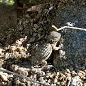 Regal-horned Lizard