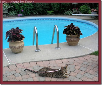 Lucy a Bengal cat and a pool