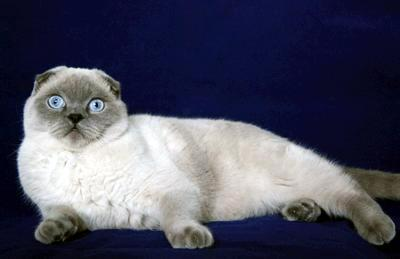 Scottish fold pointed cat