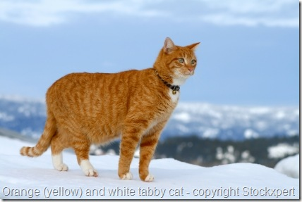 yellow tabby cat