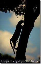 leopard climbing tree in silhouette