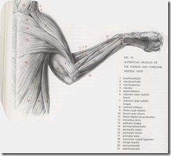forelimb and thorax muscles of a cat