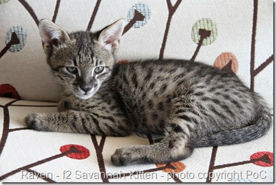 raven a f2 savannah kitten
