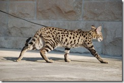 kathrin-stucki-photos-f2-savannah-cat-2