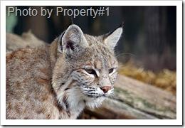 eurasian-lynx-Property#1